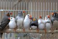 Продам попугаев и певчих птиц