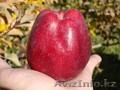 Саженцы яблонь Золотое,  Американка,  Старкримсон оптом 550 тг.