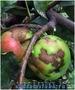 ОсенняВесенняя обработка садовых деревьев и роз от парши и курчавости.