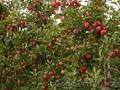 Обрезка плодовых деревьев. Алматы.