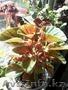 Цветы колеус,  герань,  сансивиерия,  хлорофитум,  коланхое,  алое, кислица