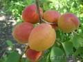 Абрикосы крупномеры плодоносящие деревья Алматы 20000 тг.