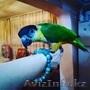 Продам. Ручной попугай каик. Черноголовый ручной попугай