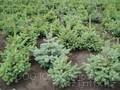 Продажа саженцев Голубая ель,  ель сибирская,  сосна,  береза,  тополь,  яблоня, ива