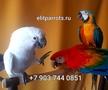 Попугаи - абсолютно ручные птенцы из питомников Европы